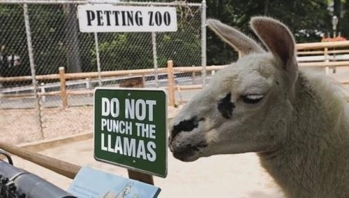 Don't punch the llamas